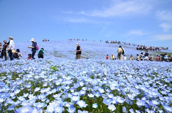 """Thời điểm hoa nở rộ cũng là lúc công viên Hitachi """"bận rộn"""" với khách du lịch bởi du khách từ khắp nơi tranh thủ đến ngắm và chụp ảnh."""