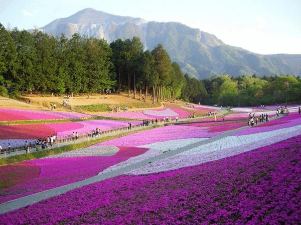 Công viên Hitsujiyama vào mùa hoa Shibazakura.