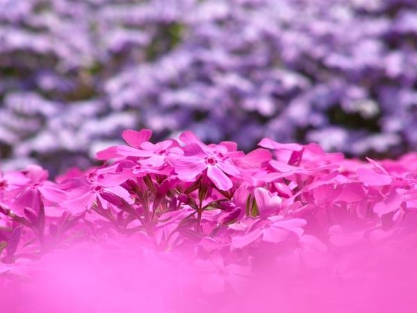 Hoa Shibazakura có 3 màu chủ đạo là hồng, tím, trắng.
