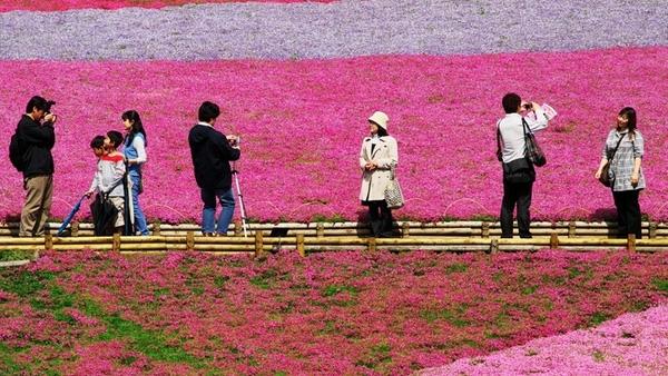 Bối cảnh màu sắc ở hoa Shibazakura là phông nền lý tưởng để chụp ảnh.