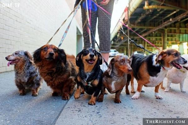 Dắt chó đi dạo, công việc tưởng chừng dễ nhưng cũng nhiều rủi ro