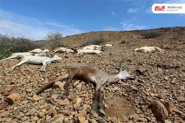 Ảnh chụp ngày 10/4/2016, xác sơn dương ở Somalia bị chết bởi thời tiết thất thường.