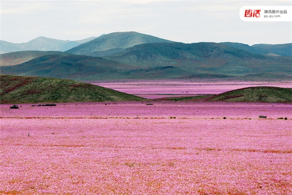 Hoang mạc Atacama luôn nằm trong danh sách những nơi khô hạn nhất hành tinh, thế nhưng vào tháng 3/2015, một trận mưa lớn đã gây lũ lụt khiến 30 người thiệt mạng và nhiều nhà cửa bị cuốn trôi. Bên cạnh thảm họa đáng buồn, thì cơn mưa cũng khiến cho rừng hoa cẩm quỳ bất ngờ nở rộ trên mảnh đất khô cằn, tạo nên khung cảnh tuyệt đẹp hiếm có.