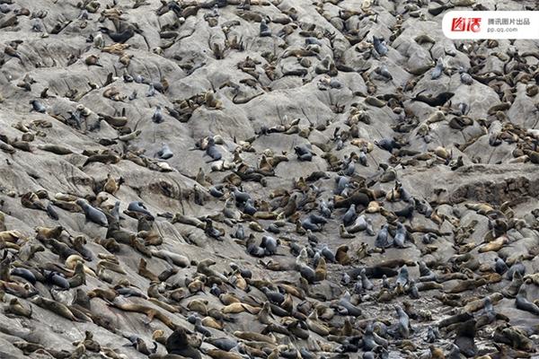 Ảnh chụp ngày 12/9/2015, bầy hải cẩu trên đảo Guerra del Atlantico Sur bị chết hàng loạt vì lâm bệnh khi thời tiết thay đổi thất thường.