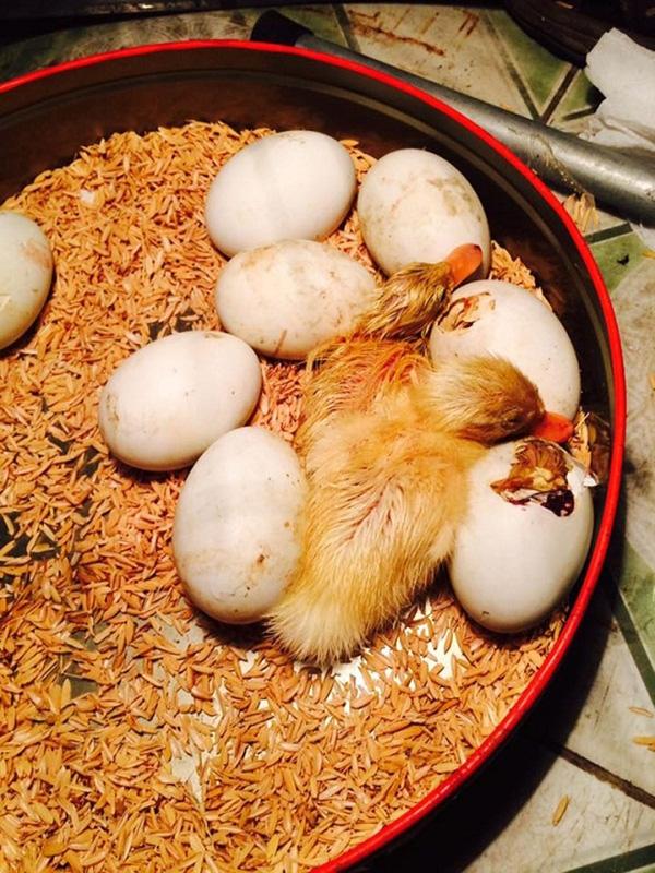 Một ổ trứng vịt lộn đang nở thành con được dân mạng chia sẻ năm ngoái.