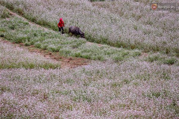Hà Giang thật bình yên với những cánh đồng hoa tam giác mạch...