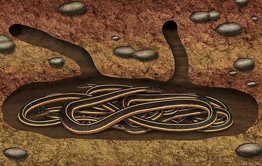 Những con rắn sọc đỏ sẽ ngủ đông trong 8 tháng mỗi năm. (Ảnh: Internet)