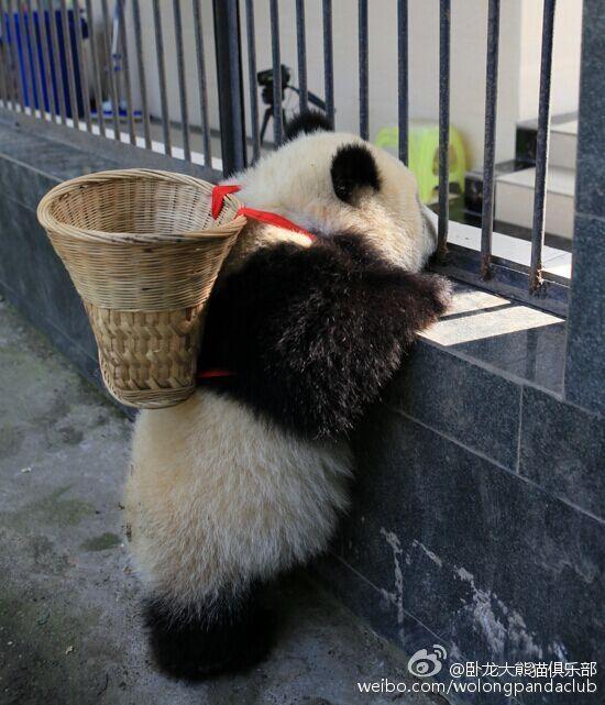 Đây là một chú gấu trúc con sống tại Khu Bảo tồn Thiên nhiên Ngoạ Long, tỉnh Tứ Xuyên, Trung Quốc.