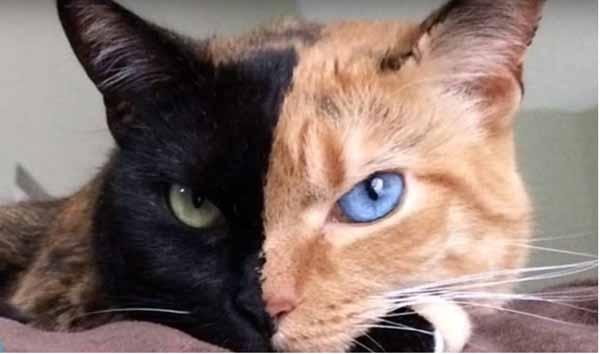 14. Đây là chú mèo có ngoại hìnhđộc nhất vô nhị trên thế giới, thậm chí còn có tài khoản riêng và lượng fan đông đảo trên facebook.