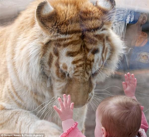Nhìn thấy cô bé đang áp cả 2 tay vào tấm kính, chú hổ Taj lầm lũi tiến tới và cúi đầu.