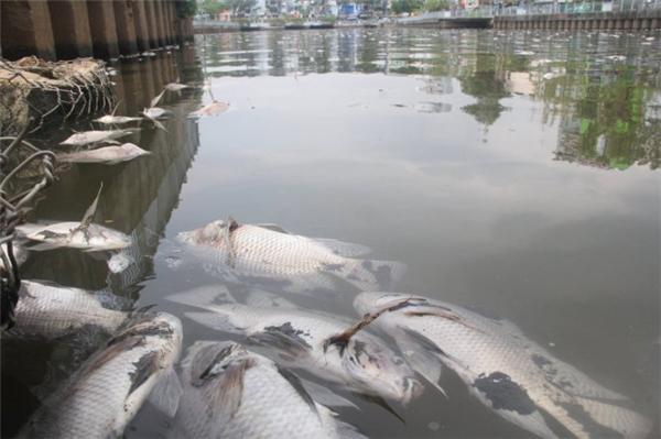 Clip cá tiếp tục chết trắng kênh Nhiêu Lộc - Thị Nghè