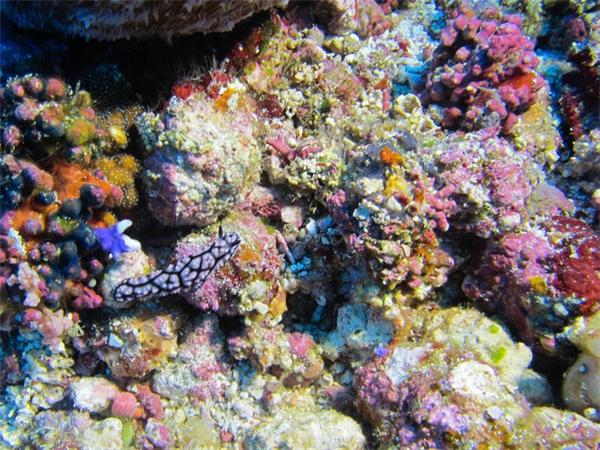 Sên biển sinh sống chủ yếu quanh các rạn san hô ở những vùng biển nông nhiệt đới như ở Ai Cập, Brazil, Indonesia, Thái Lan, và Australia.