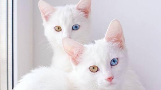 """Cặp chị em mèo mắt xanh mắt vàng khiến dân mạng """"phát cuồng"""""""