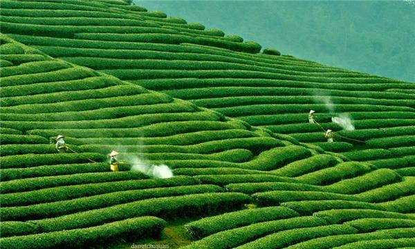 """Du lịch Việt Nam - Ngỡ ngàng trước những đồi chè """"vô giá"""" đẹp như tranh ở Việt Nam"""