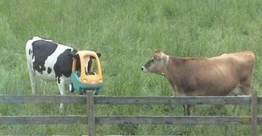 Bò cũng chơi xe ô tô đồ chơi.