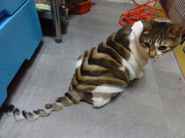 4. Bộ lông chú mèo đã được tỉa tót, mượt mà, óng ả miễn chê luôn. Ai mà rảnh rỗi vậy không biết.