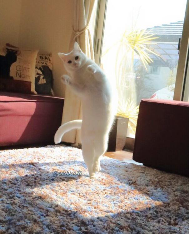 Choáng với chú mèo nhảy ballet điêu luyện thần sầu