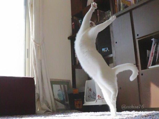 Chú mèo trắng nhỏ tha hồ thể hiện sự dẻo dai của mình bằng những động tác ballet khó. (Ảnh: Internet)
