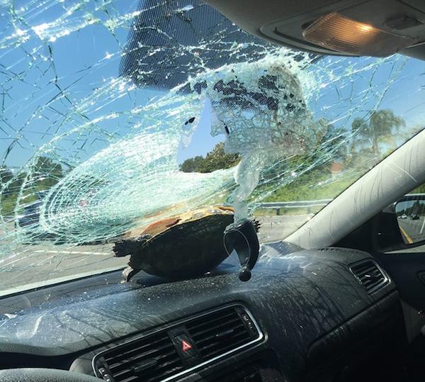 Dù phá tan kính chắn gió kiên cố, chú rùa vẫn không hề bị thương