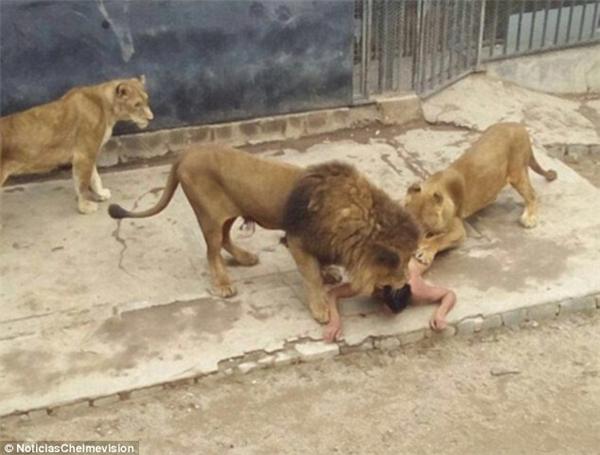 """Đàn sư tử bao vây """"con mồi lạ"""". (Ảnh: Internet)"""