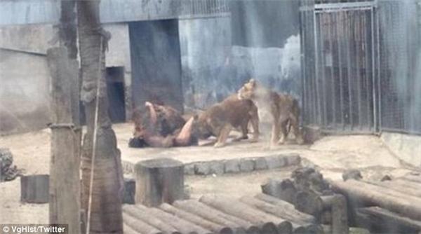Người đàn ông không một mảnh vai che thân nhảy vào chuồng sư tử. (Ảnh: Internet)