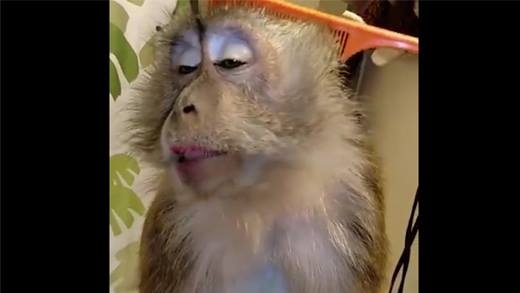 """Nàng khỉ """"sang chảnh"""" quý tộc hút hơn 35 triệu lượt xem"""