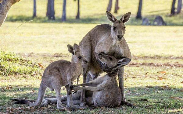 Cảnh tượng chuột túi mẹ hấp hối vẫn cố sức dang tay ôm con.