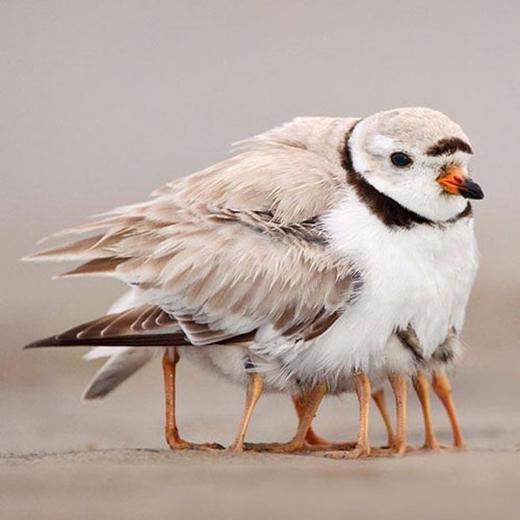Nhìn sơ qua, chú chim này khiến người ta phát hoảng bởi...quá nhiều chân. Nhưng thực ra đây là chân của các chim non đang nép vào mẹ mình. (Ảnh: Internet)