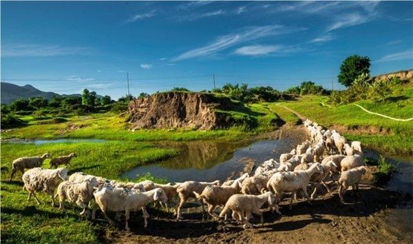Thời gian tốt nhất là buổi sáng, vì vậy bạn nên sắp xếp đến trang trại cừu từ 6 - 7 giờ sáng. Sau khi thưởng thức những bữa cơm sáng cùng người dân nơi đây, bạn có thể cùng họlùa cừu ra đồng chăn tầm 8 - 10 giờ sáng.Nếu muốn săn những bức ảnh đẹp thì hồ đập Thanh Sơn là lí tưởng và thơ mộng nhất để săn những góc ảnh cùng với những chú cừu dễ thương.(Ảnh: Internet)