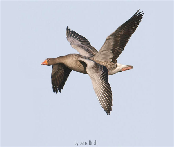 Chú vịt có 2 đôi cánh, tha hồ mà bay đi di trú.