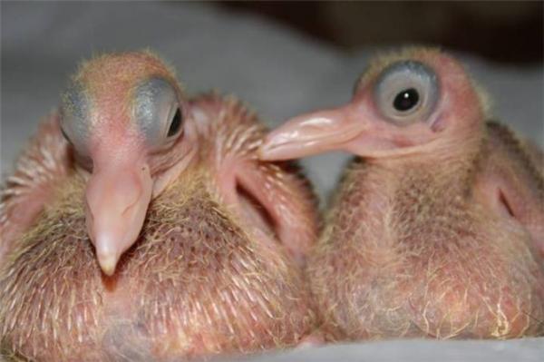Bồ câu mới sinh trông như thế này sao? Không bật cười cũng lạ.