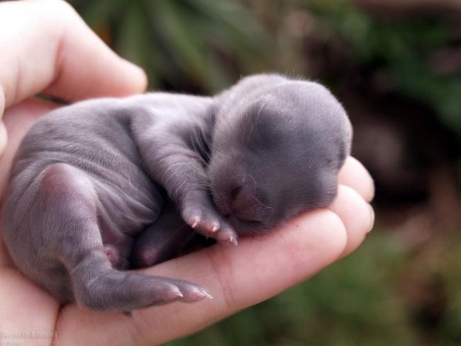 Cái sinh vật tưởng như không có mắt, có tai, xấu xí và nhăm nhúm này là thỏ con sơ sinh đấy.