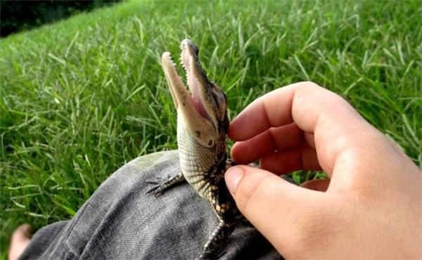 """Cá sấu trưởng thành trông đáng sợ bao nhiêu thì cá sấu con trông dễ thương và... """"phởn phơ"""" bấy nhiêu."""