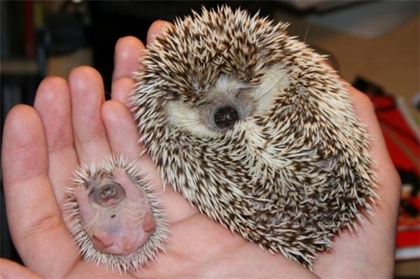 Cuối cùng là em nhím sơ sinh được đem ra so sánh với mẹ mình. Trông em nó ngủ giang tay giang chân sung sướng chưa kìa.