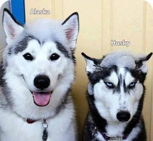 Cách phân biệt chó Alaska và Husky: Đơn giản thôi!Em nàyđeo lens còn em kia kẻ mắt ấy mà.(Ảnh: Internet)