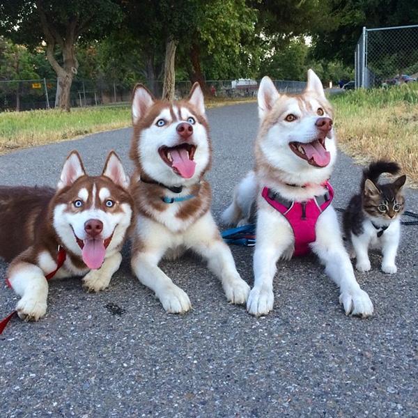"""""""Gia đình kiểu mẫu"""" khiến bao người ghen tị của 3 chú husky cùng một cô mèo """"tưởng mình cũng là husky"""". (Ảnh: Internet)"""
