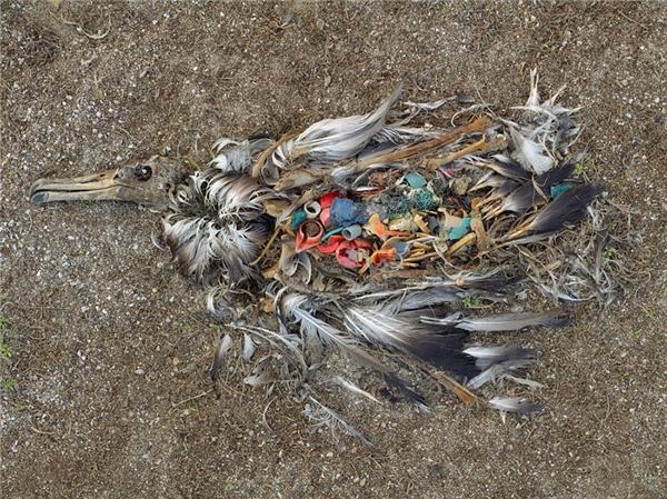 Một con hải âu phải bỏ mạng chỉ vì nuốt nhầm rác trôi nổi trên đại dương.