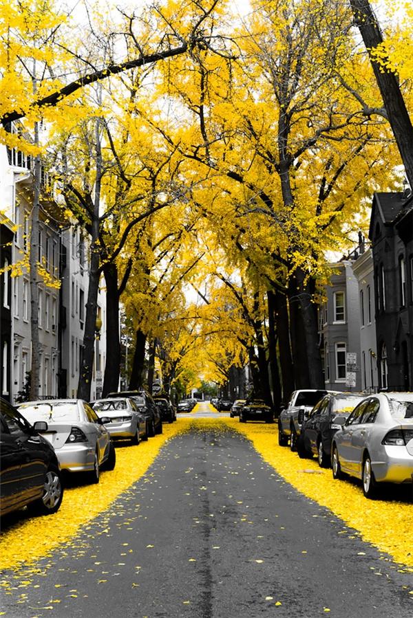 Toạ lạc tại vùng Tây Bắc của thủ đô nước Mỹ, con đường vàng rực màu lá rẻ quạt thu hút mọi sự chú ý của những ai đi qua. Đây thật sự là địa điểm chụp hình lý tưởng cho những ai đam mê nhiếp ảnh.