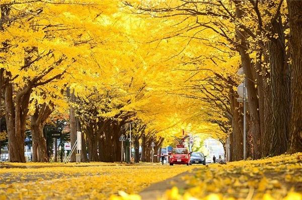 Hằng năm, vào mùa thu, nơi đây như biến thành một bức tranh phong cảnh ngập sắc vàng. Vì vậy, không lấy gì làm ngạc nhiên khi cứ đến tháng 10 là con đường lại tấp nập hàng chục nghìn người đến để chiêm ngưỡng vẻ đẹp của tự nhiên.