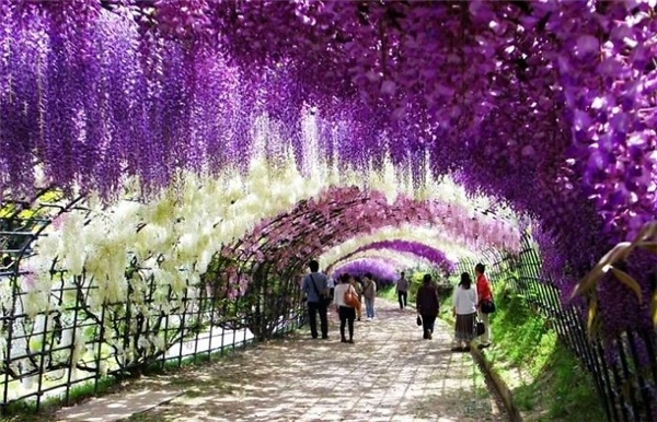 Toạ lạc tại khu vườn Kawachi Fuji, thành phố Kitakyushu, nơi đây thu hút hàng chục nhìn du khách thập phương tới thưởng thức vẻ đẹp của hơn 20 loài hoa tại đường hầm này. Nếu các bạn muốn đến thưởng hoa, thời điểm tốt nhất là từ cuối tháng 4 đến đầu tháng 5.
