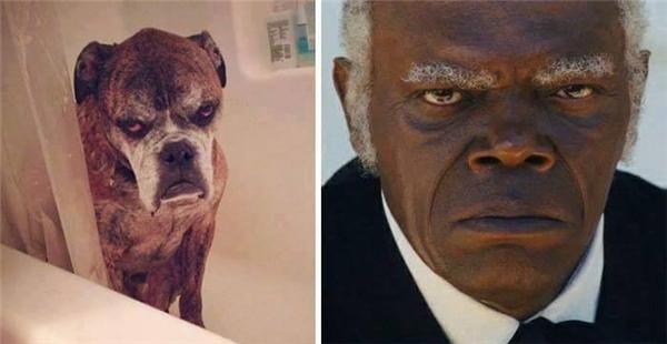 Nếu cuộc đời Samuel L. Jackson được chuyển thể thành phim mà lại do... động vật đóng thì chú cún này nhất định được vai chính.