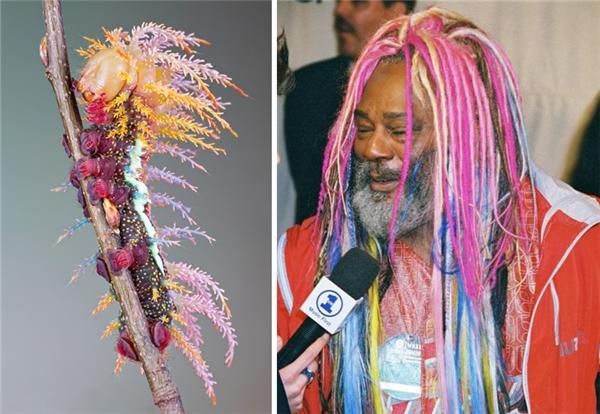 Nghệ sĩ George Clinton có lẽ đã lấy cảm hứng làm tóc từ loài sâu róm Saturniidae.