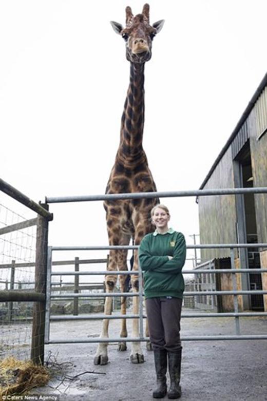 Kỉlục chú hươu cao cổ cao nhất thế giới thuộc về con hươu tên Zulu ở Xứ Wales. Nó sở hữu chiều cao gần 6m nên được coi là cá thể hươu cao cổ cao nhất thế giới.
