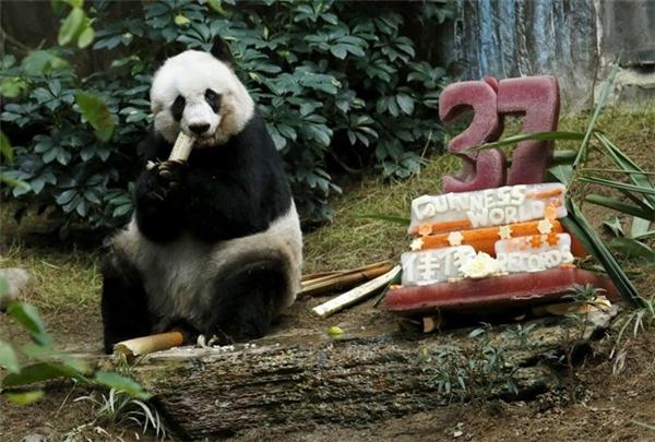 Gấu trúc có tên Jia Jia lập kỉlục con gấu trúc sống lâu nhất trong điều kiện nuôi nhốt. Nó đã đón sinh nhật lần thứ 37 tại công viên ở Hong Kong, Trung Quốc ngày 28/7/2015.
