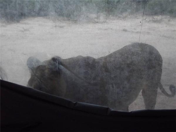 """Hai người đã chọn cách hành động rất đúng đắn, đó chính là bình tĩnh quan sát mà không có hành động nào """"đụng chạm"""" đến đám sư tử."""