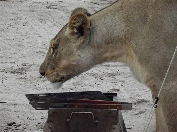 Sẽ thế nào nếu đang ngủ thì phát hiện sư tử đang đứng cạnh bên?