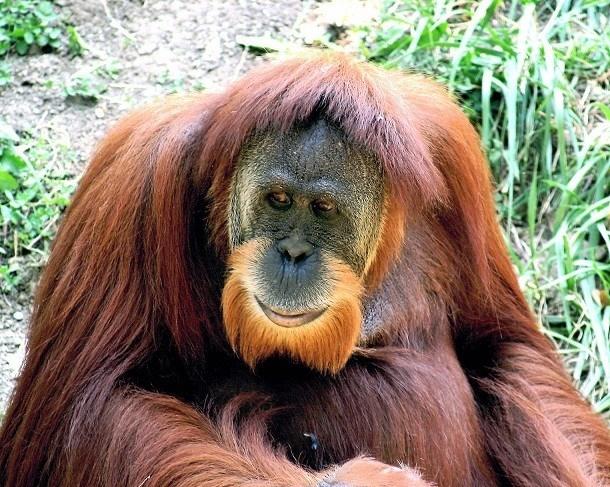 Đười ươi hay còn gọi là dã nhân hay người rừng là một chi thuộc họ Người, thuộc bộ Linh trưởng ở châu Á còn tồn tại. Chúng sở hữu bộ lông dài khá mượt mà và chòm râu, ria vàng cam sáng rất nổi bật. Đây cũng là loài động vật có bộ râu được coi là gọn gàng nhất trong thế giới động vật. (Nguồn L25)