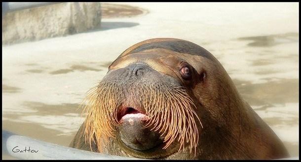 Hải mã không phải là loài động vật xinh đẹp gì nhưng bộ râu của nó lại gây chú ý. Râu của hải mã rất thần kỳ, được kết nối với mạch máu và dây thần kinh, những chiếc râu có độ dài tối đa là 30cm rất nhạy bén. (Nguồn L25)