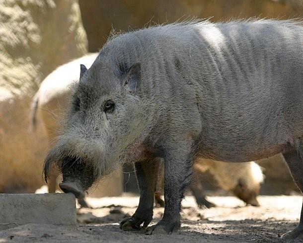 Lợn râu Borneo là một loài lợn hoang dã, phân bố ở cả Indonesia và Malaysia, nổi tiếng với bộ ria nằm ngay trên mõm của mình, khiến nó trông nghiêm túc và có vẻ khó tính. (Nguồn L25)