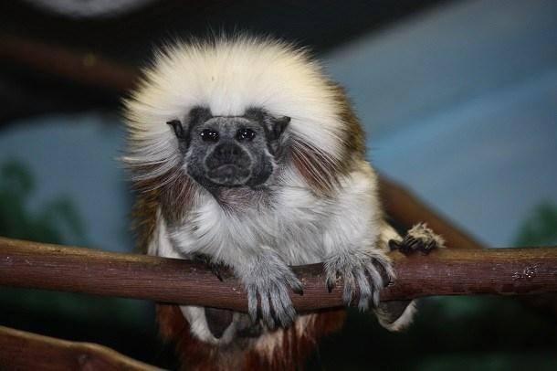 Khỉ Saguinus oedipus sở hữu một bộ ria mép ngắn và gọn gàng, tuy nhiên khi kết hợp với chiếc đầu xù đầy lông của nó, trông nó giống hệt Dustin Hoffman, một diễn viên kì cựu của điện ảnh Mỹ. (Nguồn L25)